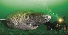 世上最長壽「400歲格陵蘭鯊」打破脊椎動物最長壽紀錄